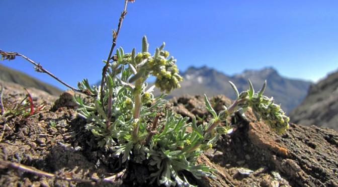 Artemisia genepì bianco